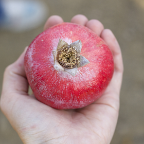 Thumbnail image for From Blossom to Bottle—A Pomegranate Story.