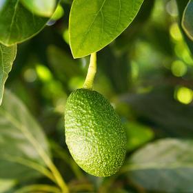 Thumbnail image for Avocado Courage