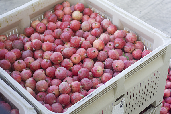 Crate of freshly picked POMegranates