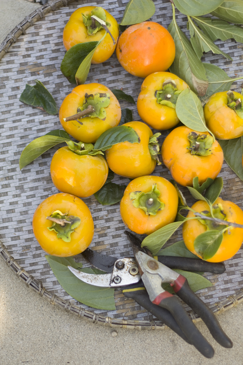 Absconding with persimmons from White On Rice Couple's tree