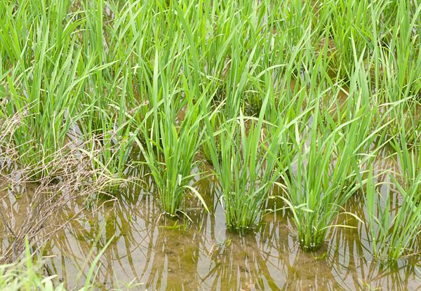 Rice growing