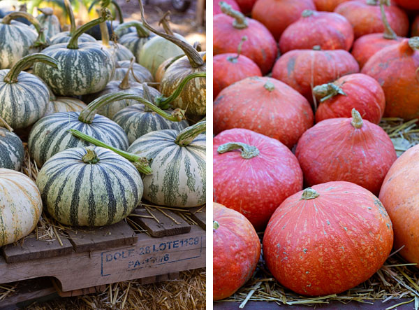Large variety of pumpkins and squash