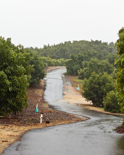 Avocado grove in the rain