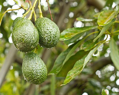 Avocados getting a shower