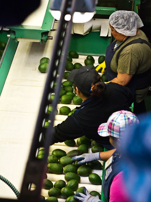 Sorting Avocados at West Pak