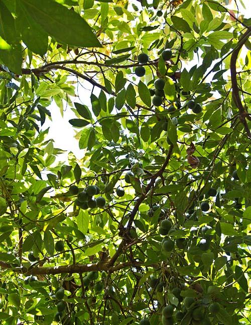 Avocado canopy