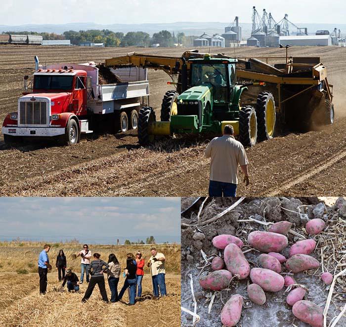 Harvesting Red Potatoes