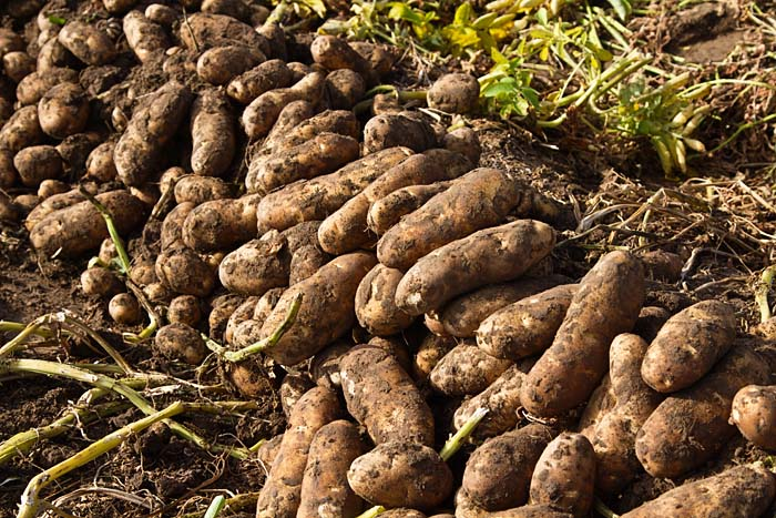 Potatoes fresh out of the ground