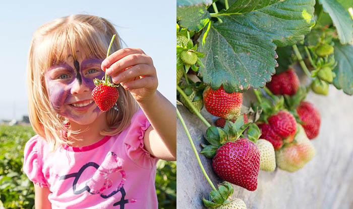 Picking California strawberries
