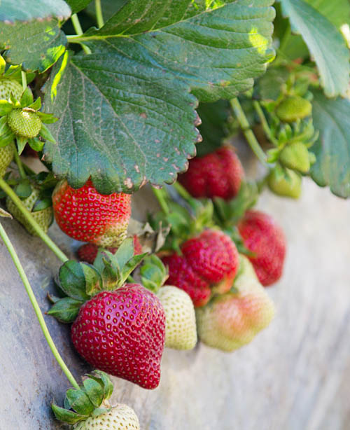 Strawberries growing in the fields