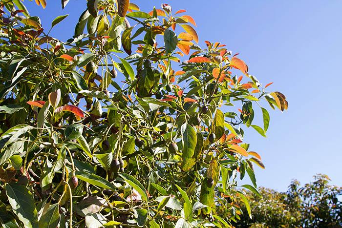 New growth of avocado trees