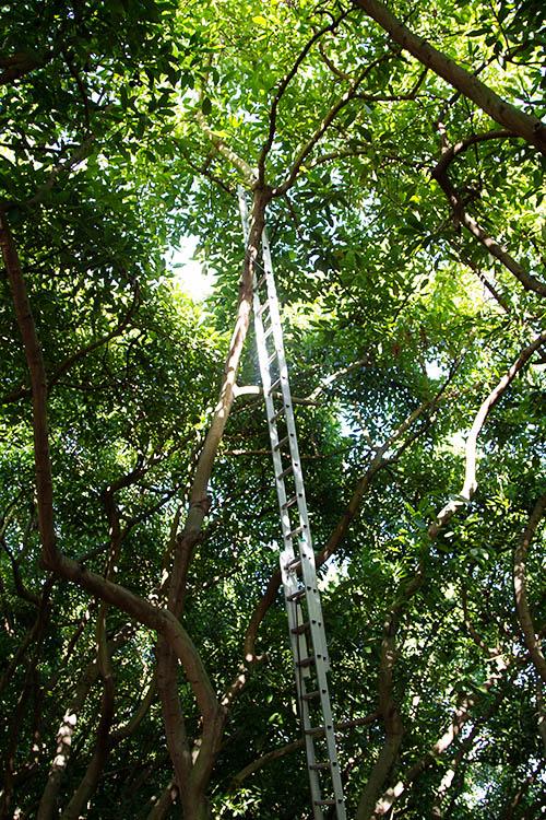Tall avocado trees
